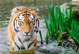A tiger in zoo. It is a representative image.